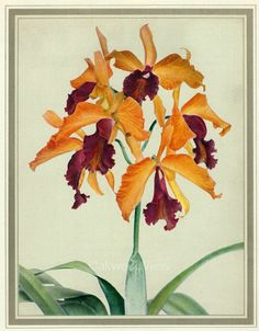 Anaconda Orchids, Vintage 1950 Colorful Botanical Flower Art Print, Flowers, 7.25x9.75in, Laeliocattleya, FREE SHIPPING $10.00 by OakwoodView