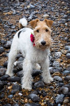 https://flic.kr/p/Vpbn22 | Wire Fox Terrier