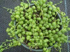Senecio rowleyanus (string of beads, string of pearls)