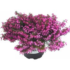 Vårlyng 11 cm Rød - Plantasjen.no