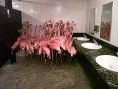 Ron Magill's famous photo of flamingos in a MetroZoo (now Zoo Miami) bathroom during Hurricane Andrew. Flamingo Art, Pink Flamingos, Flamingo Bathroom, Man Bathroom, Bathrooms, Bathroom Posters, Cute Little Kittens, Sale Poster, Time Art
