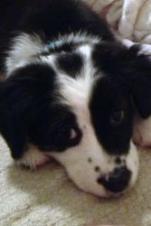 Ziva is an adoptable Australian Shepherd Dog in Carrollton, GA.   Ziva (AKA Baby Girl) is a 3 month old female black bi Aussie mix available for adoption in Carrollton, Georgia.  If you're interested ...