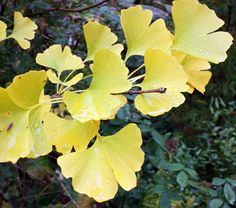 Ginko biloba tree: In the fall, all the leaves fall in a couple of hours and it sounds like rain. Ginko Tree, Patterns In Nature, Autumn Leaves, Shrubs, Plant Leaves, Keychain Ideas, Yellow, Lotus Flowers, Plants