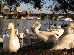 Apreciar a Ponte Carlos de uma das margens do rio. Praga