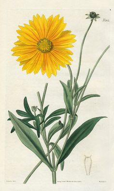William Curtis Botanical Prints 1787-1826 - Spear-leaved Coreopsis