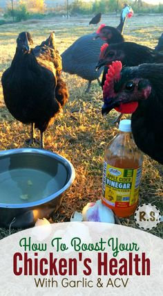 How do you improve your backyard chicken health? Feed your hens garlic & apple cider vinegar. Ill explain the amazing reasons to feed chickens garlic & apple cider vinegar & then Ill show you how easy it is to start feeding it to your hens today. Portable Chicken Coop, Best Chicken Coop, Backyard Chicken Coops, Chicken Coop Plans, Building A Chicken Coop, Chicken Coup, Chicken Garden, Chicken Tractors, Raising Backyard Chickens