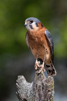 American Kestrel (Falco sparverius) | Birds of Prey ...
