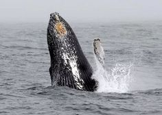 Humpback whales are back in NYC!