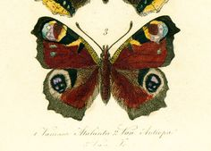 Moth Print - Butterfly Wall Art Poster - Butterfly Chart #Illustration - #Entomology Wall Art - Insect Biology Art Print.  Authentic lithographs come from an antique French A... #entomology #butterflies #illustration