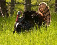 10 Spring Turkey Hunting Tips