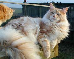 gatos-gigantes-6-racas-que-voce-precisa-conhecer-5                                                                                                                                                                                 Mais