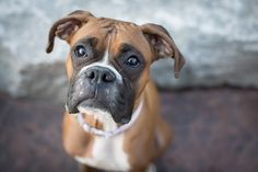 """How to Become The Boxer Pack Leader: Of all the questions that people ask """"how to become the pack leader"""" is the big one! This is by far the most important question how to convince your dog that you are the person in charge. Think of the pack leader as the decision maker – where you should go on the walk, how"""