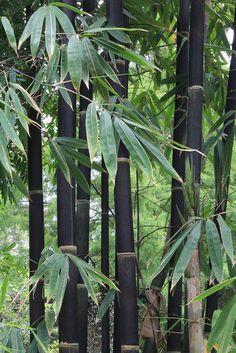 Black bamboo (Phyllostachys nigra)                                                                                                                                                      More