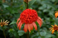 I think of 'Secret Lust' coneflower as having a puffy hairdo on top. What also makes it interesting is the way it changes color over time, as I describe here: http://landscaping.about.com/od/Tall-Perennials/ss/Secret-Lust-Coneflower-Double-Echinacea-Changes-From-Pink-to-Orange.htm