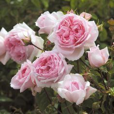 THE WEDGWOOD ROSE   English Rose - bred by David Austin