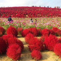 Ini Cara Mudah Untuk Anda Ke Hitachi Seaside Park Sewaktu Travel Di Jepun