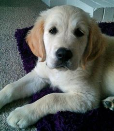 golden retriever puppy ... Please can I have you???