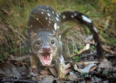 the Spotted-Tailed Quoll