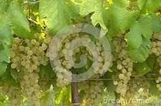 Grapes at vineyard detail, green grapes hanging, summer, early morning photo Grape Vineyard, Green Grapes, Early Morning, Stock Photos, Detail, Summer, Photography, Image, Summer Time