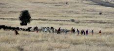 Masai herding their cattle and donkeys. Donkeys, Cattle, Painting, Art, Gado Gado, Art Background, Donkey, Painting Art, Cow