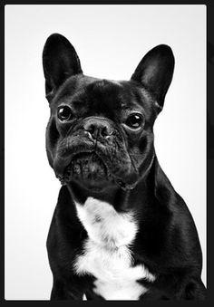 bulldog frances.