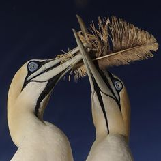 Photograph by @thomaspeschak Cape Gannet pairs will often play with discarded feathers to strengthen their pair bond.The feather is passed from one bird to the other and sometimes even acrobatically tossed into the air. Unpublished photograph from the Dec 2014 @natgeo magazine story Cross Currents. #southafrica  @thephotosociety @natgeocreative  To see more unpublished images from this story check out and follow @natgeo photographer @thomaspeschak by natgeo