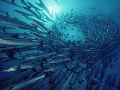 A barracuda is scary because it has large jaws and ...