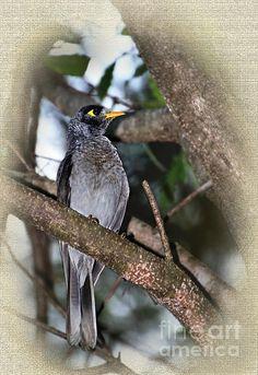 #GOLDEN #EYE  #Bird #Noisy #Miner #Photography Quality Prints and Cards at: http://kaye-menner.artistwebsites.com/featured/golden-eye-kaye-menner.html  -