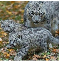 A Snow Leopard ~ With Her Two Cubs.