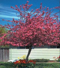 Bright pinkish red blooms in spring, give way to purple foliage during summer which turns bronze green in the fall. Then it gets deep red berries in winter. What a cool tree! Garden Trees, Garden Plants, Red Berries, Trees And Shrubs, Landscape Architecture, Bloom, Yard, Bronze, Gardening