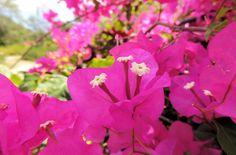 Beautiful pink bougainvillea in St Lucia