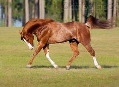 Chestnut Rabicano QH side two