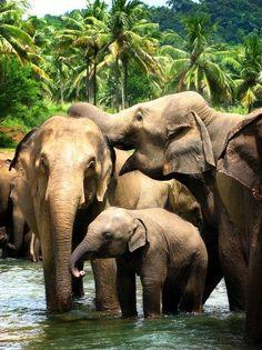 Elephants bathing in Pinnawala, Sri Lanka