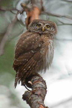 Eurasian pygmy owl, Glaucidium passerinum