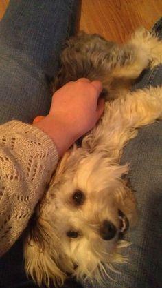 Morkie puppy love