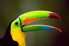 tucanes de colores - Buscar con Google