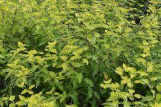 Caryopteris foliage