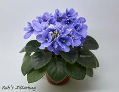 African violet Rob's Jitterbug