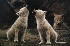 My mom had a print of this hanging in the living room when I was growing up. :) Arctic Wolf Cubs By Jim Brandenburg Animals And Pets, Baby Animals, Cute Animals, Wild Animals, Wolf Pictures, Animal Pictures, Beautiful Creatures, Animals Beautiful, Howl At The Moon
