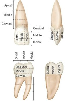 anatomy location terms of teeth | Introduction to Dental Anatomy (Dental Anatomy, Physiology and ...