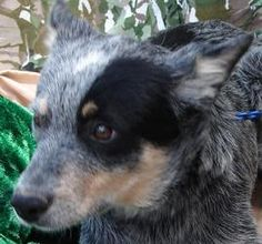 Patch is an adoptable Australian Cattle Dog (Blue Heeler) Dog in Dalhart, TX. ...