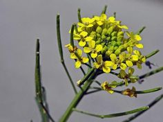 Peltoukonnauris, Erysimum cheiranthoides - Kukkakasvit - LuontoPortti