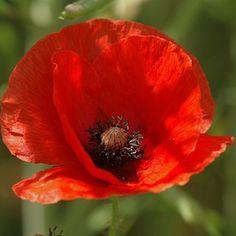 Free Image on Pixabay - Poppy, Flower, Flora, Papaver