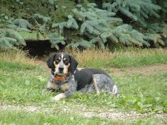 Stunning Blue Tick 13 Inch Beagle With Images Blue Tick Beagle