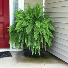 Fern from Walmart-water daily and fertilize weekly with Epsom salts to grow a huge fern.