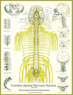 nervous system #life #chiropractic #health