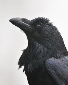 It's not a crow, it's a raven. Crow Art, Raven Art, Crow Or Raven, Raven Spirit Animal, Tenerife, Raven Flying, Dark Wings, Crows Ravens, Animal Sketches