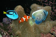 157 best saltwater fish images on pinterest marine life tropical fish compatibility in your saltwater tank by michael phife like all living creatures there are some fish that get along peacefully with others and there fandeluxe Images