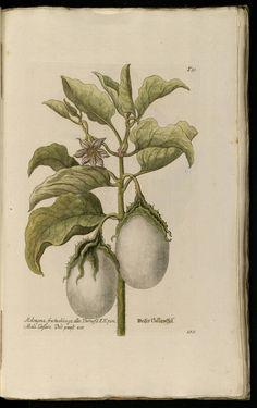 Knorr, G.W., Thesaurus rei herbariae hortensisque universalis, vol. 1: t. 180 (1750-1772)