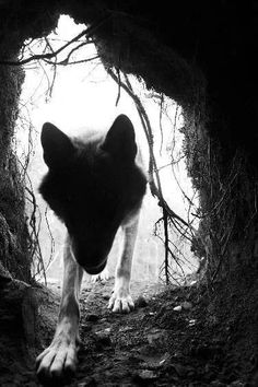 Dark wolf den.